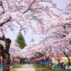 花見の季節 予算全国一位は青森県!