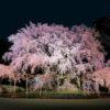 東京桜情報六義園しだれ桜とうえの桜まつり