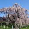 福島 桜情報 樹齢推定1000年超え名木